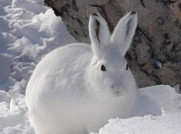 Ловись большая и маленькая – виды капканов и ловушек при охоте на зайца или лису