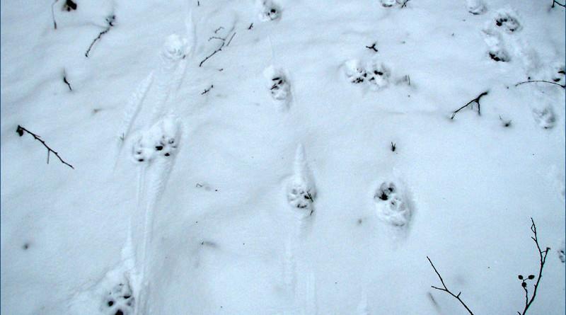 след волка на снегу фото нескольких фестивалях